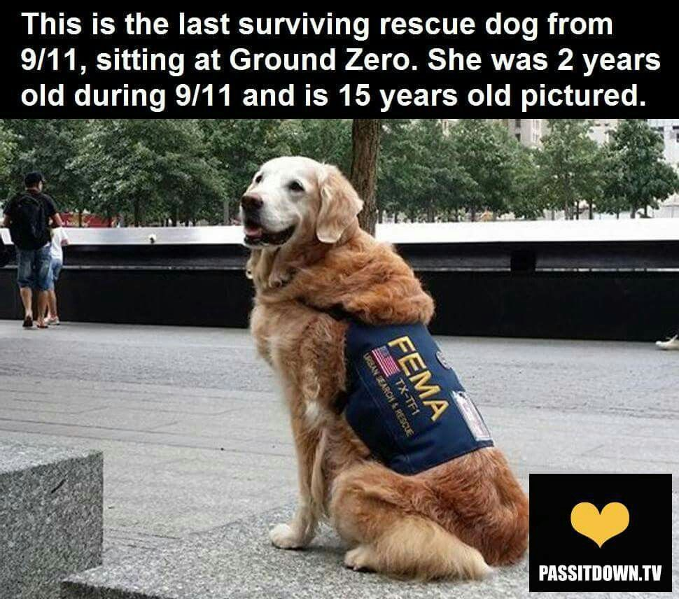 Last Surviving Rescue Dog From 9 11 Rescue Dogs Dogs Search And Rescue Dogs