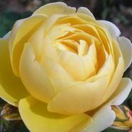 David Austin Rose Charlotte Standard Shrub Roses Fragrant