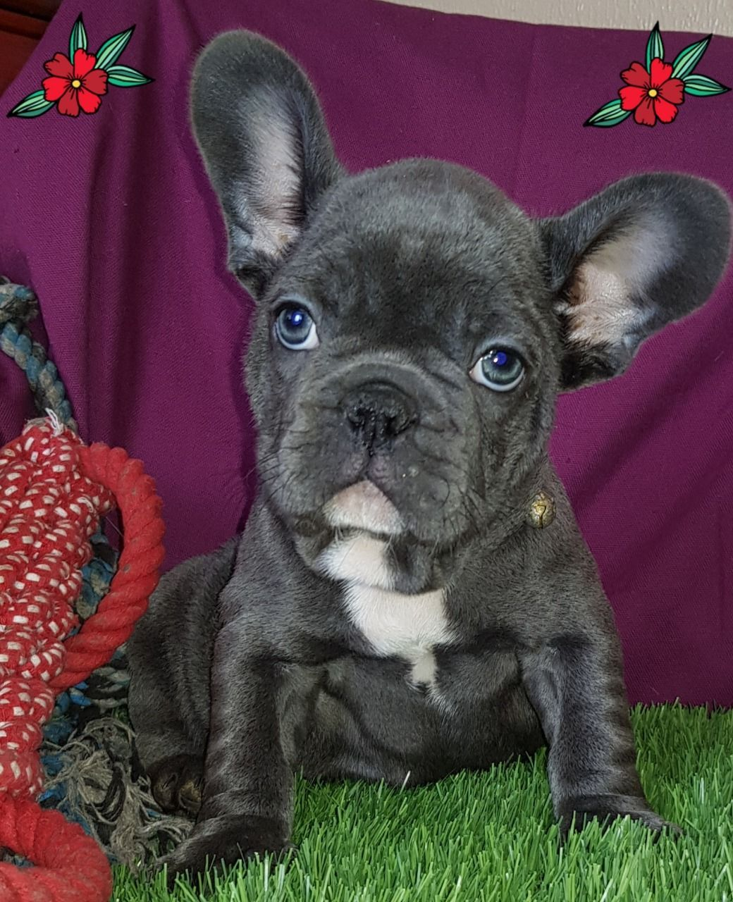 Frenchieforsale Frenchie4sale Frenchbulldogforsale