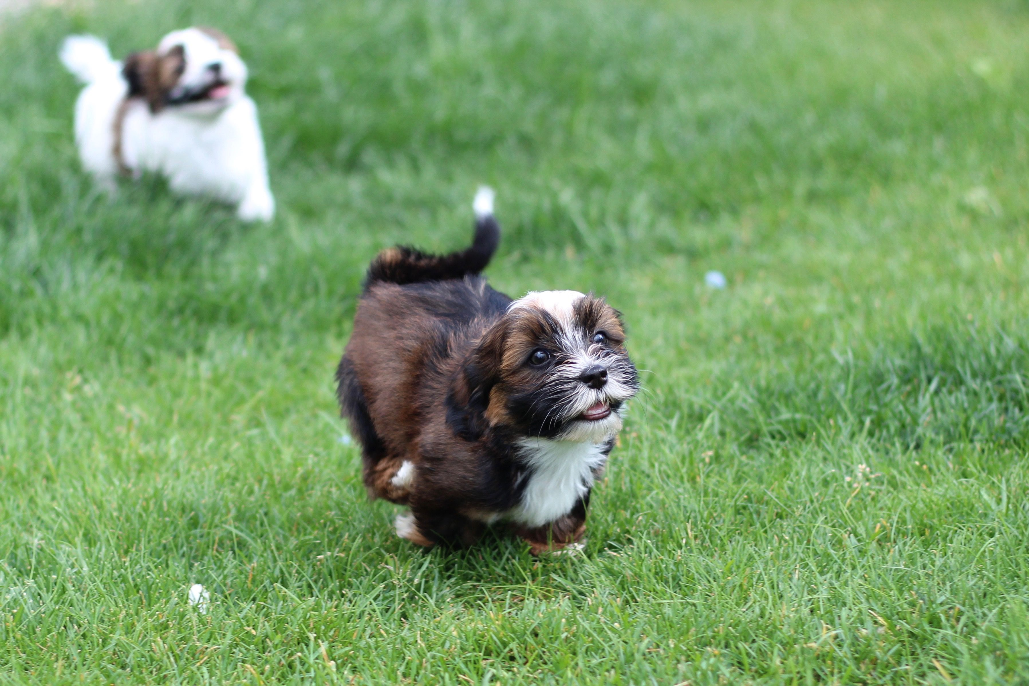 A Gorgeous Zuchon Puppy From Babybarks Ca Puppies Shih Tzu Puppy Dogs And Puppies