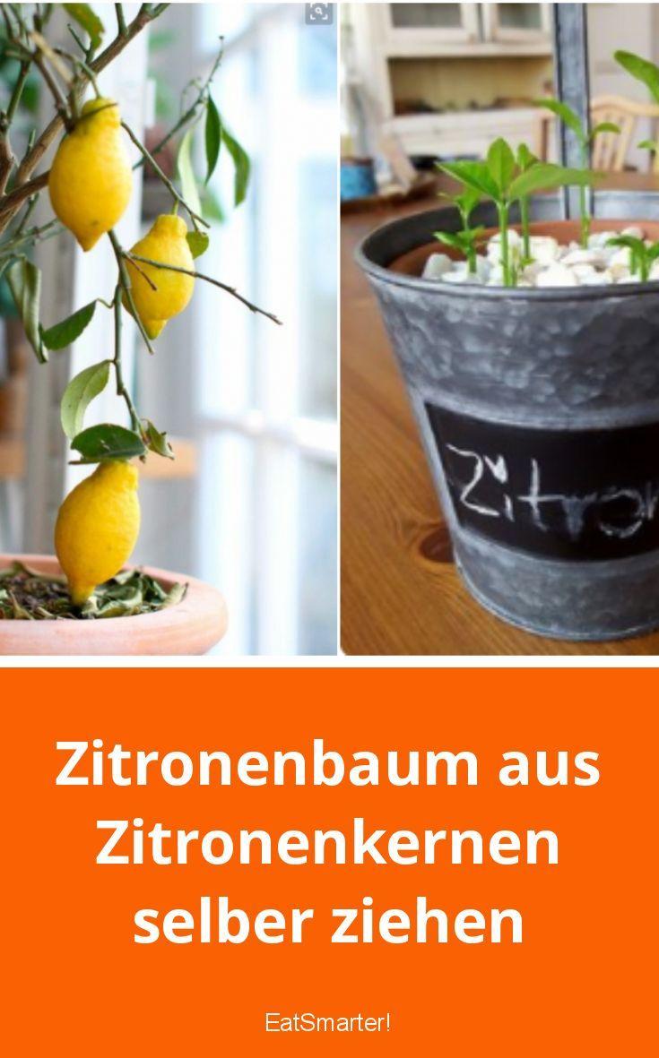 Ziehen Sie den Zitronenbaum selbst aus dem Zitronenkern   – Gärtnerei