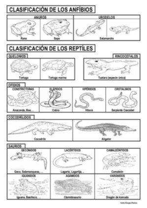 Clasificación anfibios y reptiles | MEDI Els animals | Pinterest ...