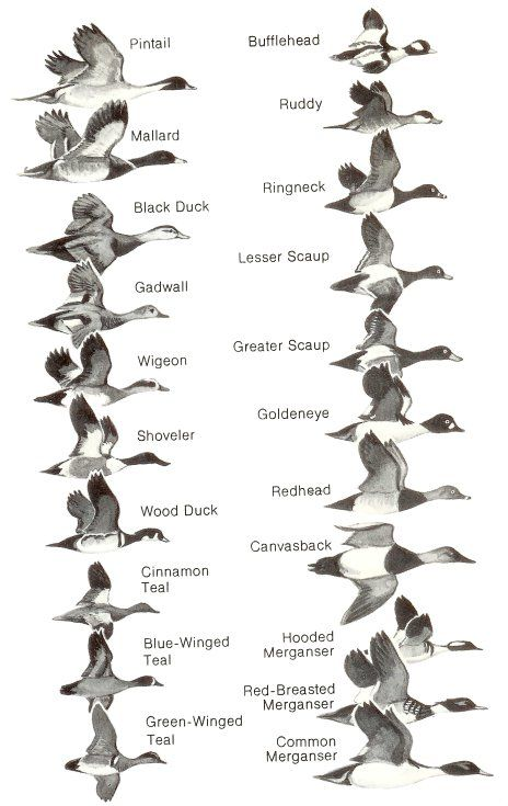 Ducks at  distance of waterfowl identification guide by hines robert  tag link    earchive public domain also rh pinterest