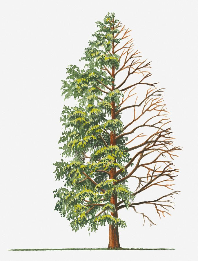 Illustration Showing Shape Of Deciduous Metasequoia Glyptostroboides Dawn Redwood Tree With Green Summer Foliage And Bare Winter Branches By Sue Oldfield Tree Drawing Bare Tree Tree Art