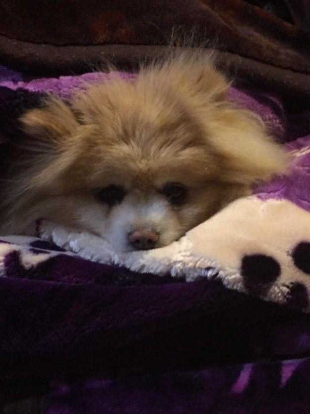 Pomeranian Puppies Survive Parvo Puppy Pinterest