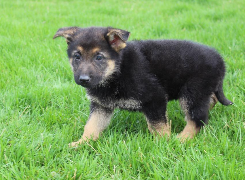 Meet Becky Female Akc German Shepherd Puppy For Sale In
