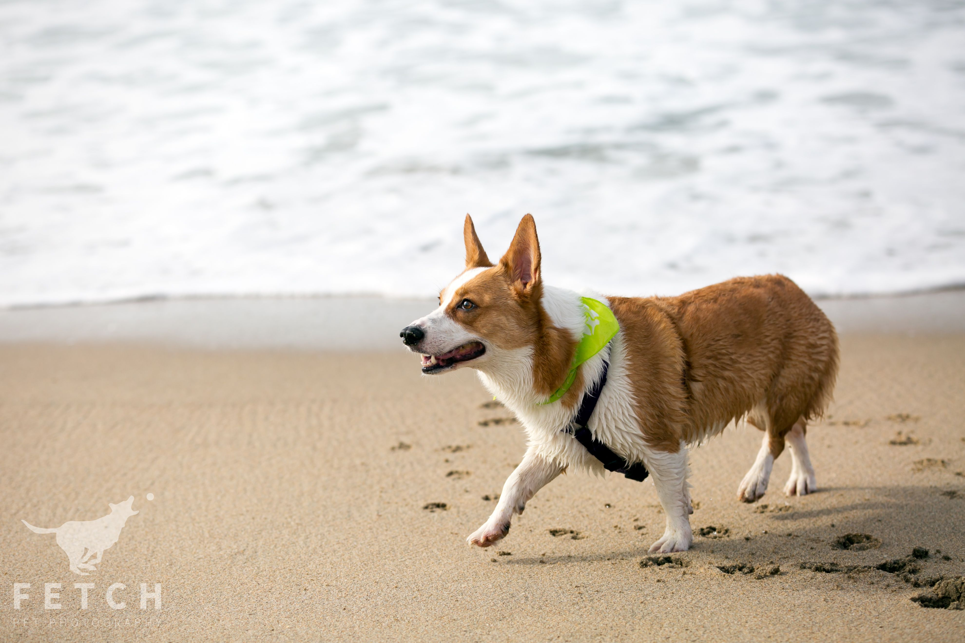 Fetch Photography | Los Angeles Pet Photographer #dog #dogs #dogphotography #doglover #actiondogs #corgi #fetchpetphotos #losangeles #petphotography