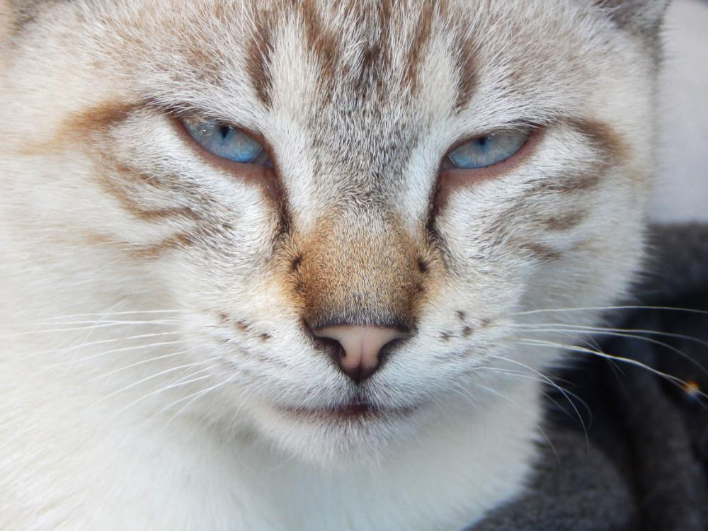 Cat Sight Cats, Cat eye colors, Great cat