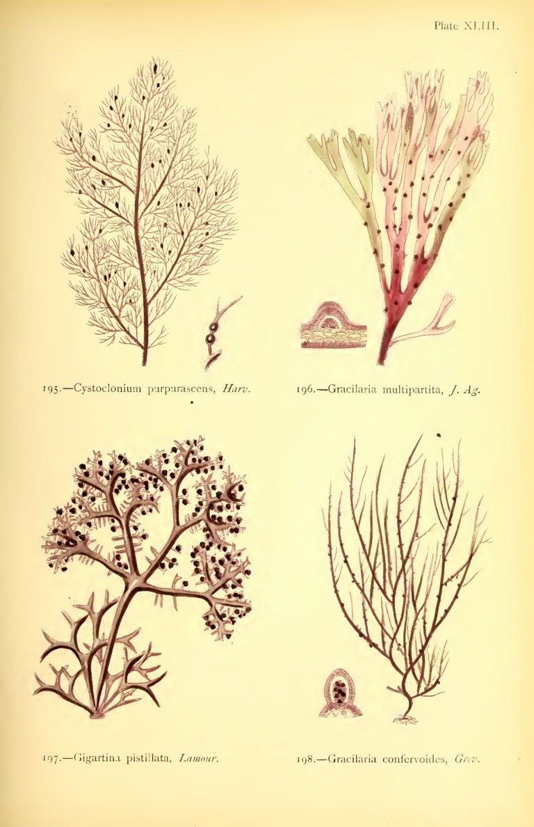 Stunning Drawings of Seaweed from a Book by Self-Taught Victorian Marine Biologist Margaret