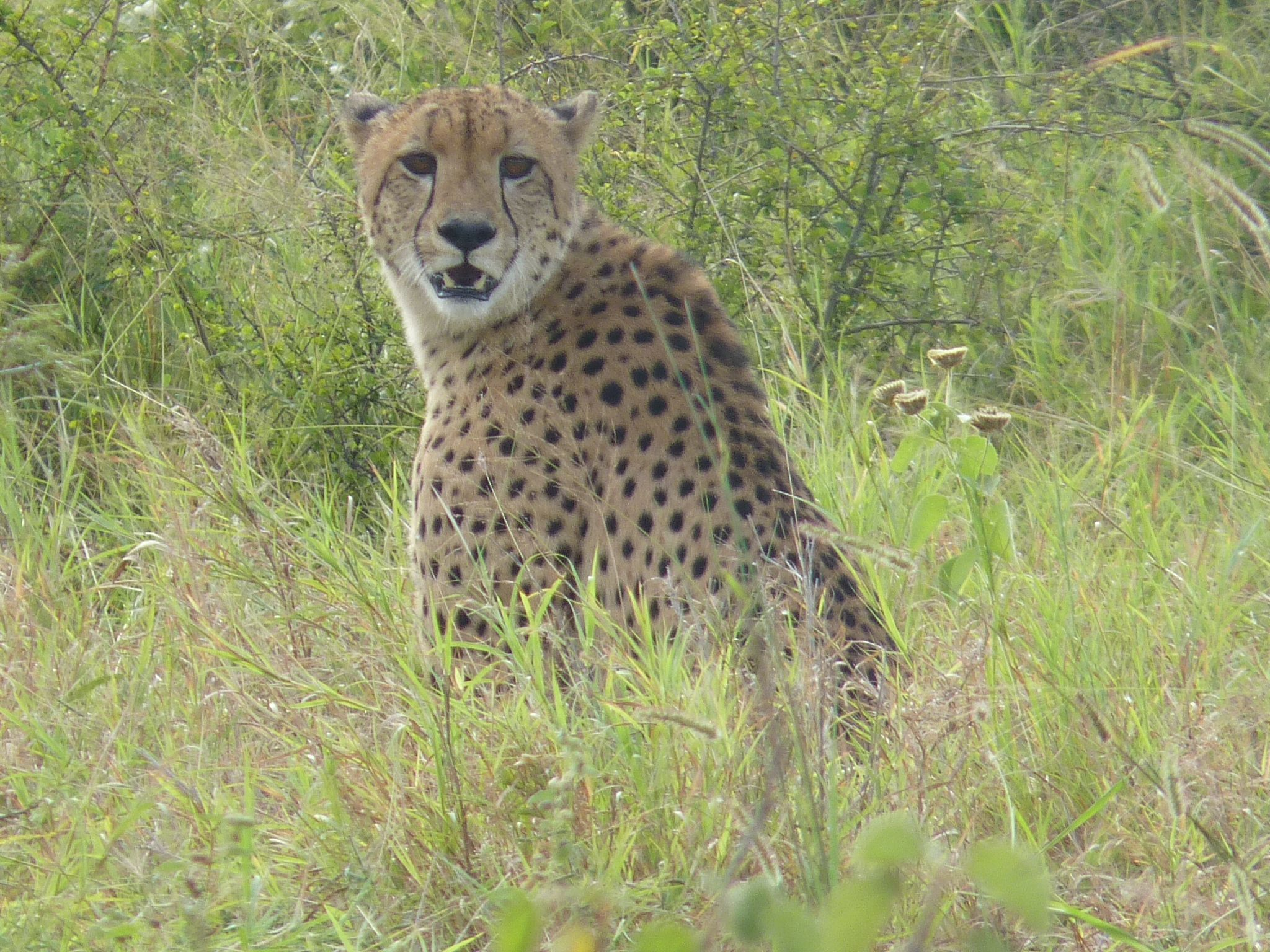 A Cheetah In The Kruger National Park South Africa Kruger National Park National Parks Africa
