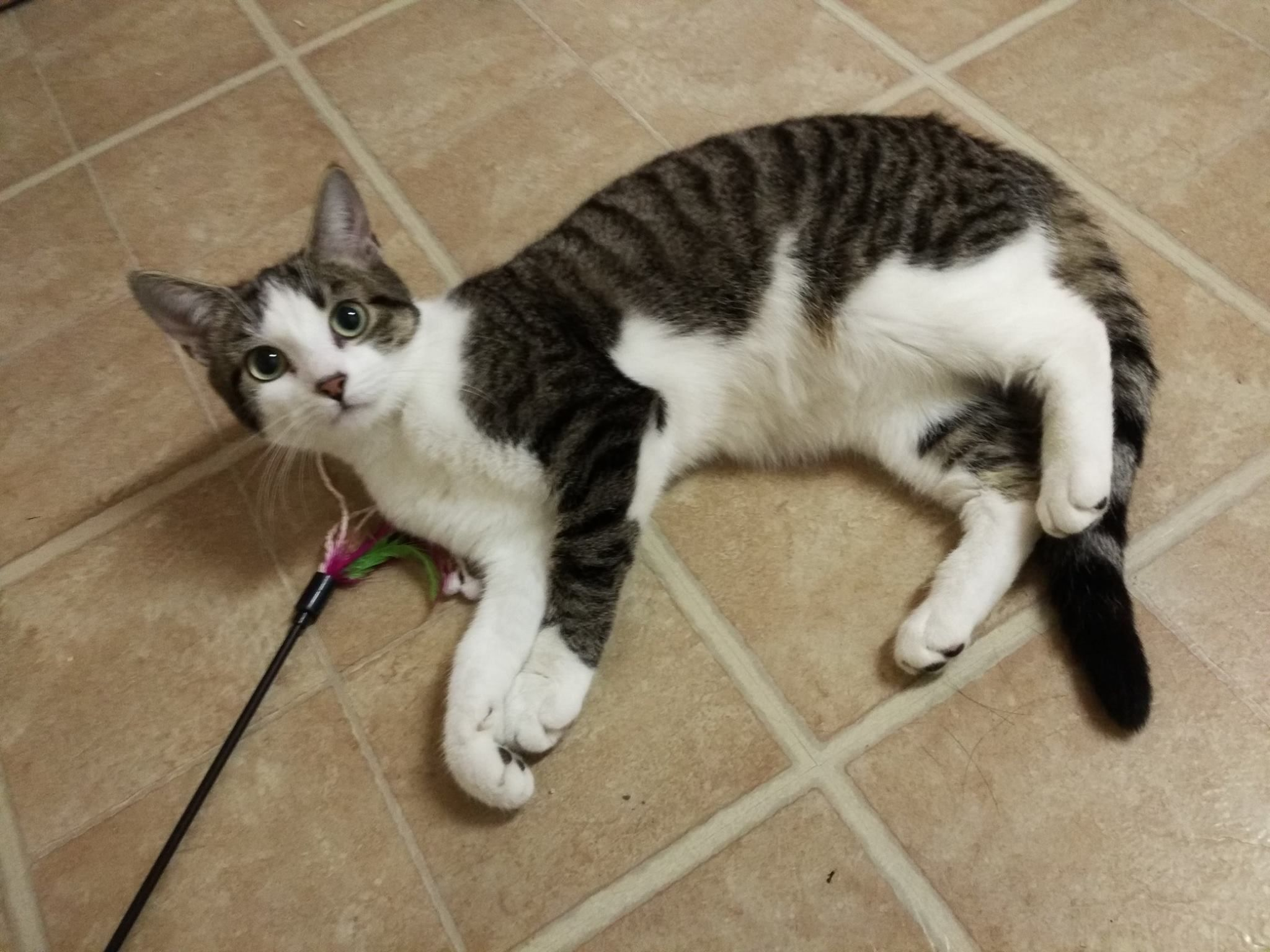Exciting News From Montreal Truffle Here Was Verfy Lucky And Got Adopted 3 This Little Blue Fluffer Male Rescu Cat Adoption Pet Adoption Cats And Kittens