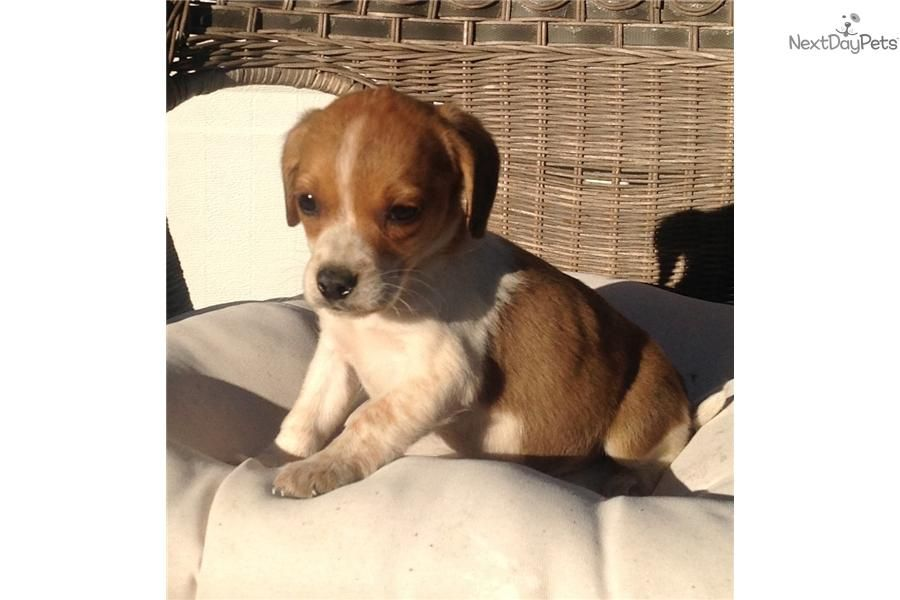 I Will Have You And Name You Ruby Meet Red Girl A Cute Beagle Puppy For Sale For 300 Carolina Girl Beagle Puppy Cute Beagles Beagles For Sale