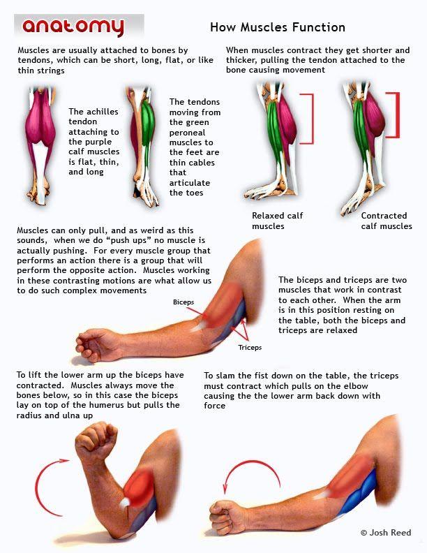 Los músculos de la pierna y el brazo superior | Anatomia | Pinterest ...