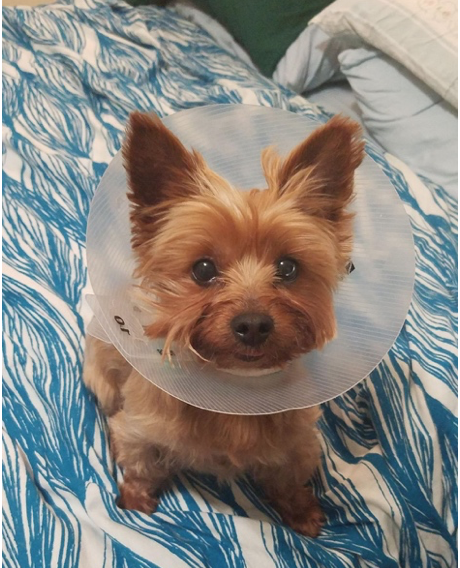 Chloe The Yorkshire Terrier Makes Her Cone Look Good Yorkshireterrier Yorkshire Terrier Terrier Yorkie