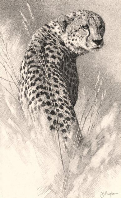 Detailed Pencil Drawing Of A Cheetah Walking And Looking