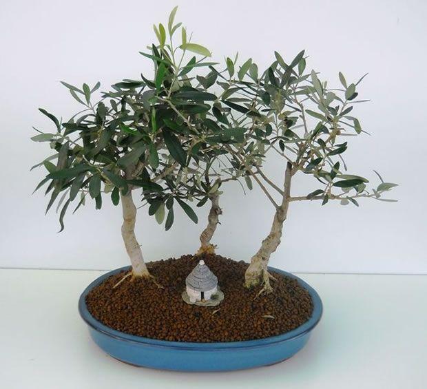 cómo hacer tu propio olivo bonsái | bonsai and gardens