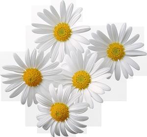 Resultado de imagen para daisies flowers png