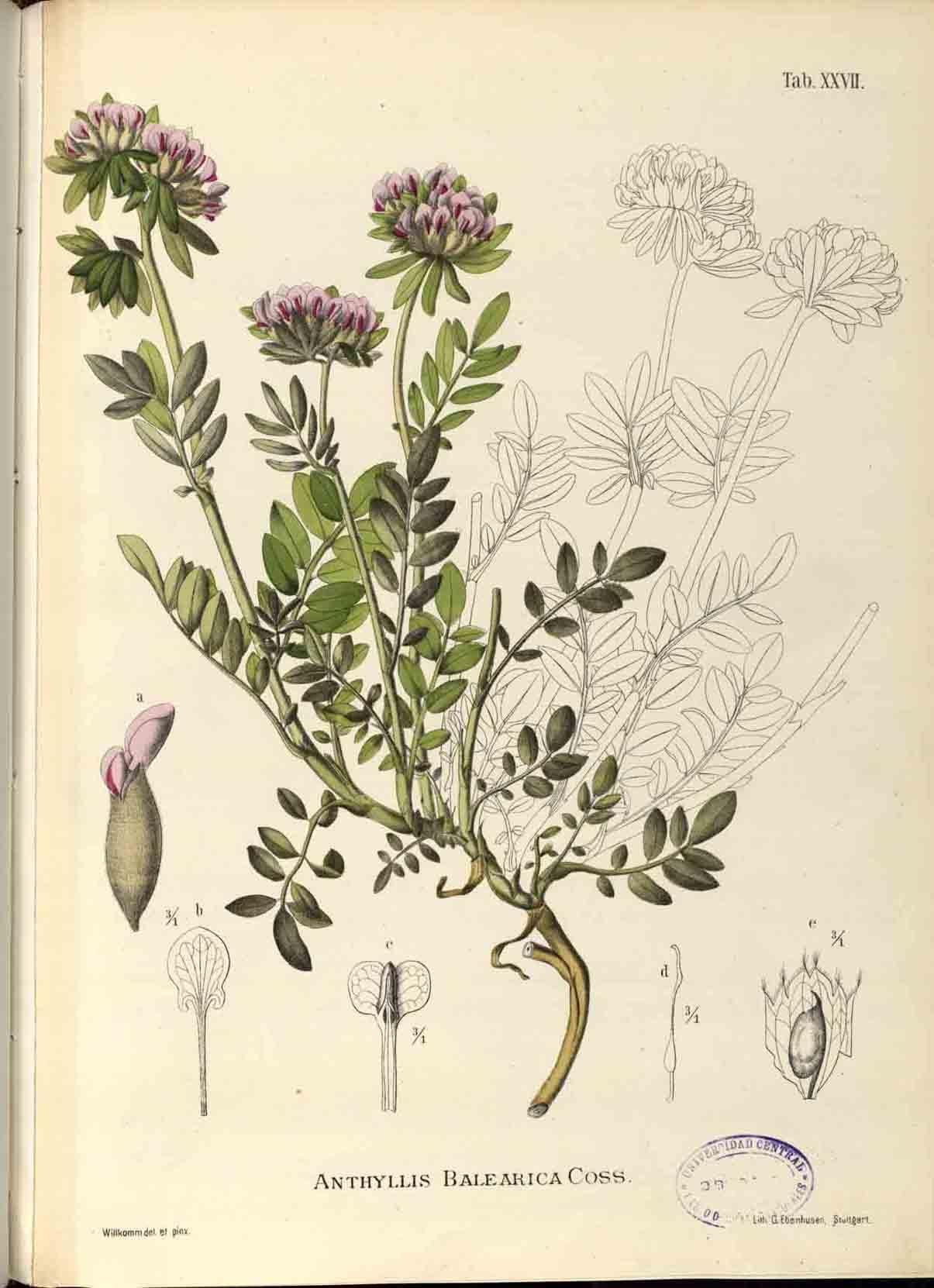Ilustracin botnica en la historia ciencia y arte  Plant