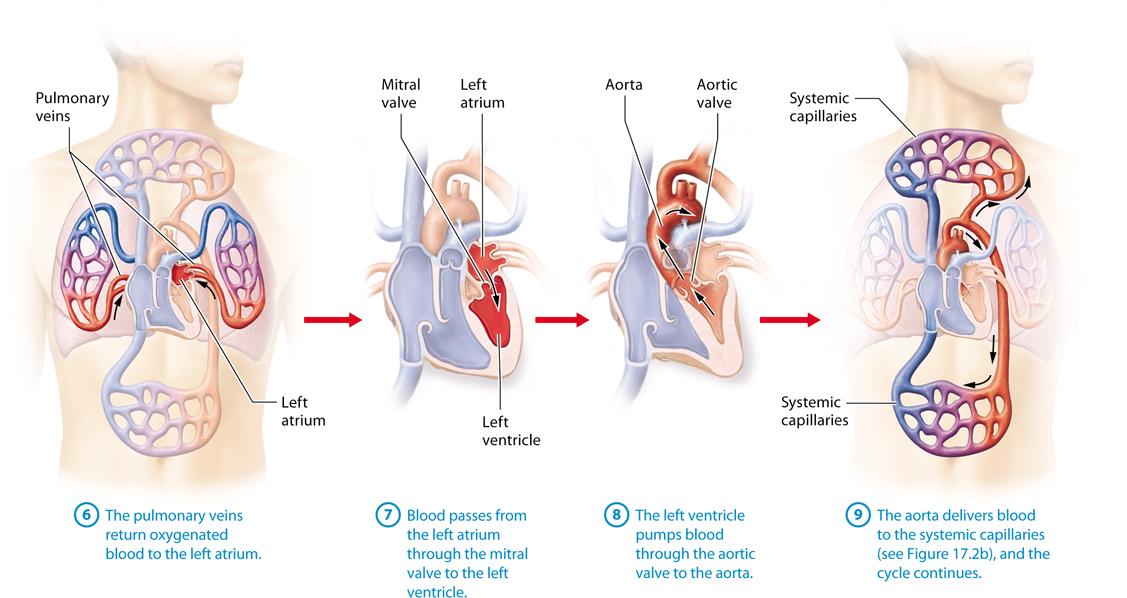 Module 172 Heart Anatomy And Blood Flow Pathway Anatomy Heart