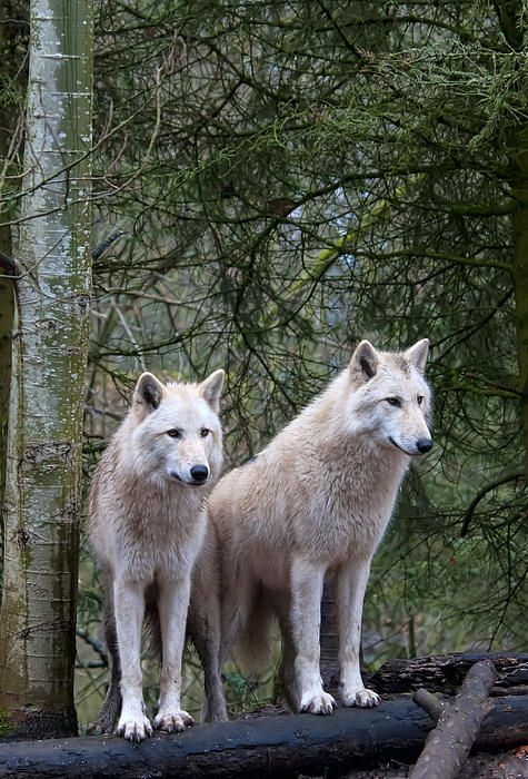 White Wolf Pair by Mark Newman