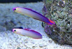 Two Purple Firefish Marine Fish Fish Pet Saltwater Aquarium