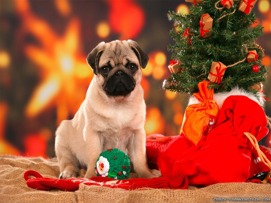 Pin By Gee Gee On Christmas Wallpaper Backgrounds Christmas Dog Christmas Puppy Pug Puppies