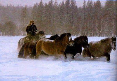 Yakutian horses in siberia