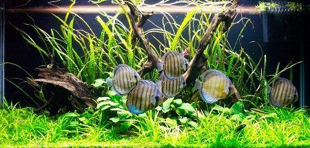 Exploring Spiralis Discus Aquarium Aquascape Nature Aquarium