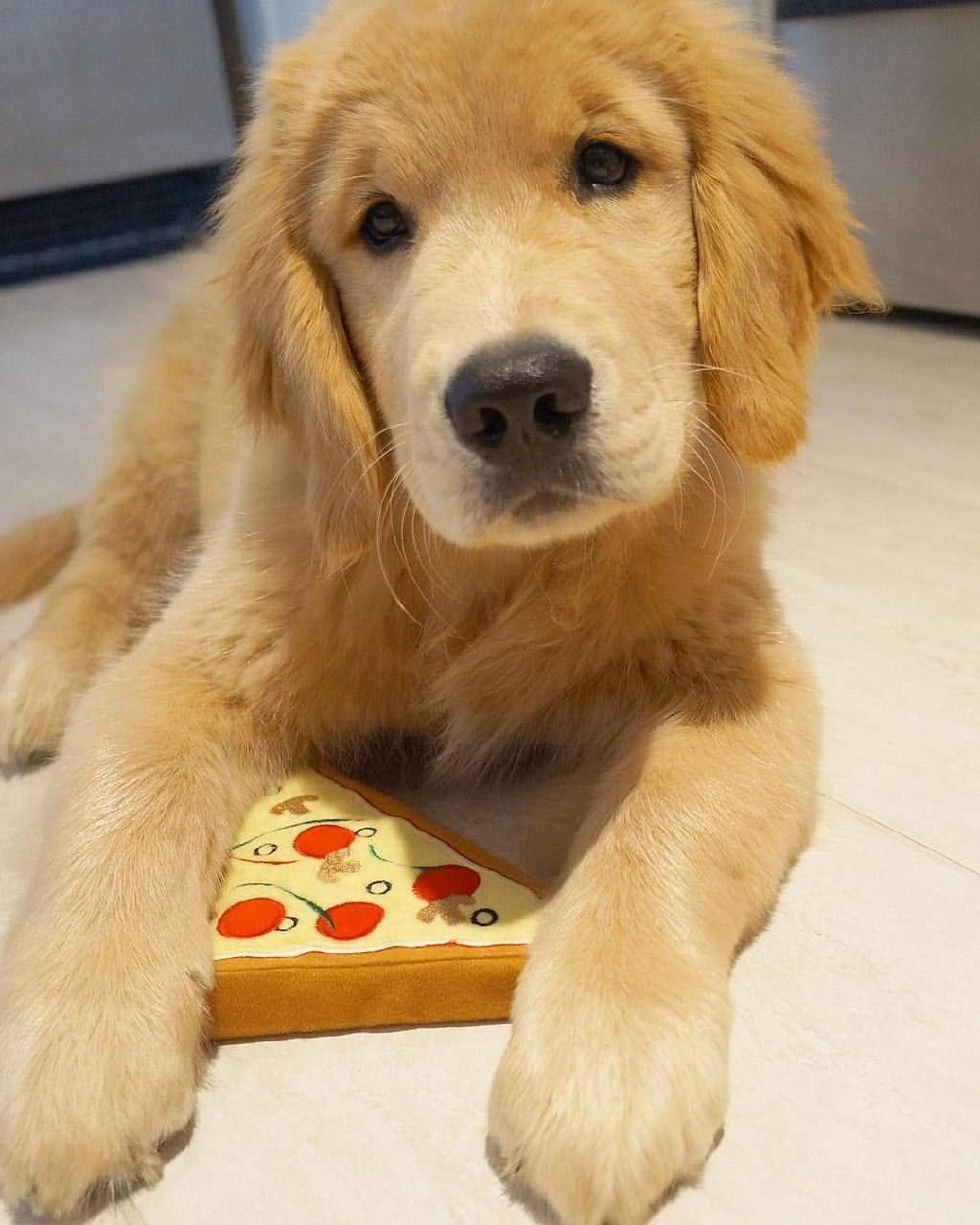 Pizza Yum Golden Retriever Retriever Retriever Puppy