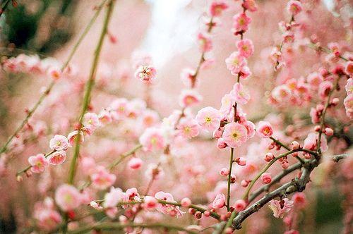 Poisonous Godiva Cherry Blossom Tree Blossom Flowers