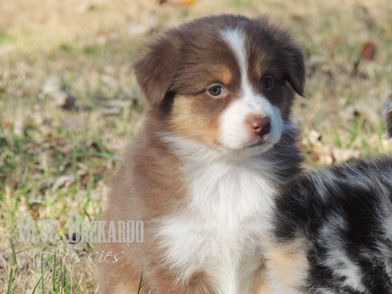 Red Tri Mini Australian Shepherd Past