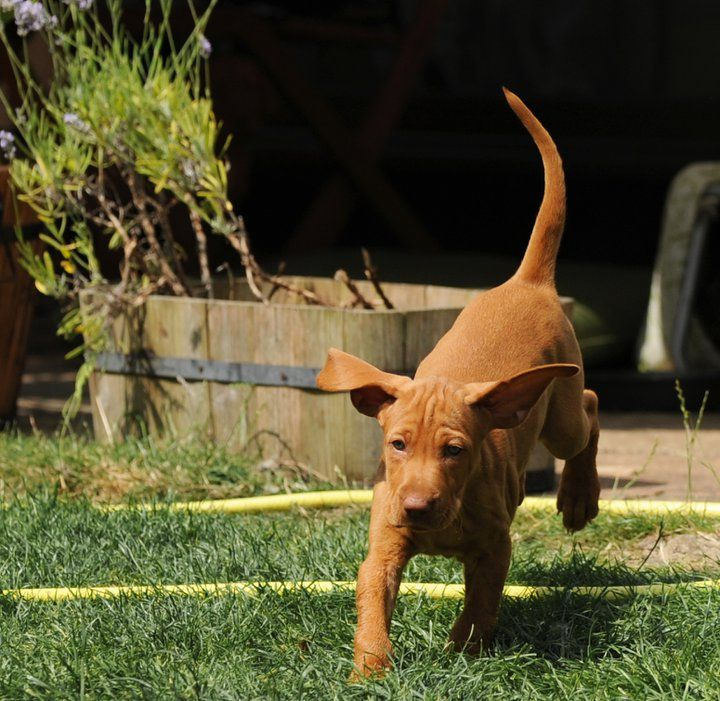 Wirehaired vizsla puppies for sale california