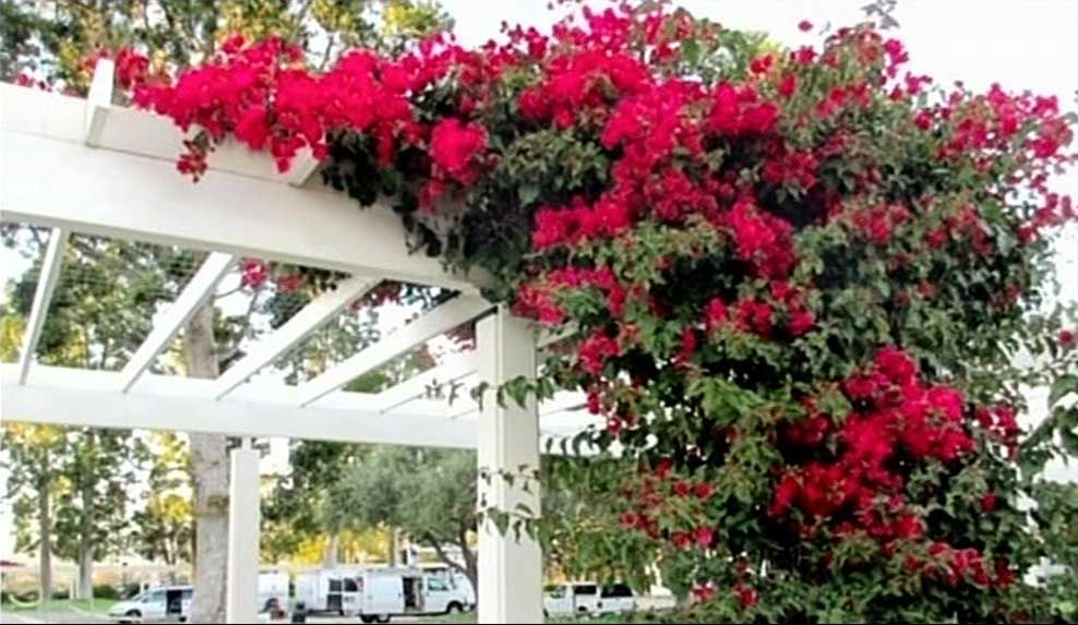 climbing plants are a brilliant way to soften a hard surface or even an unsightly area - Climbing Plants