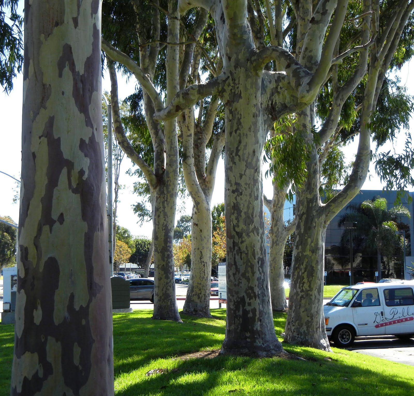 Eucalyptus maculate Spotted gum (With images) Australian