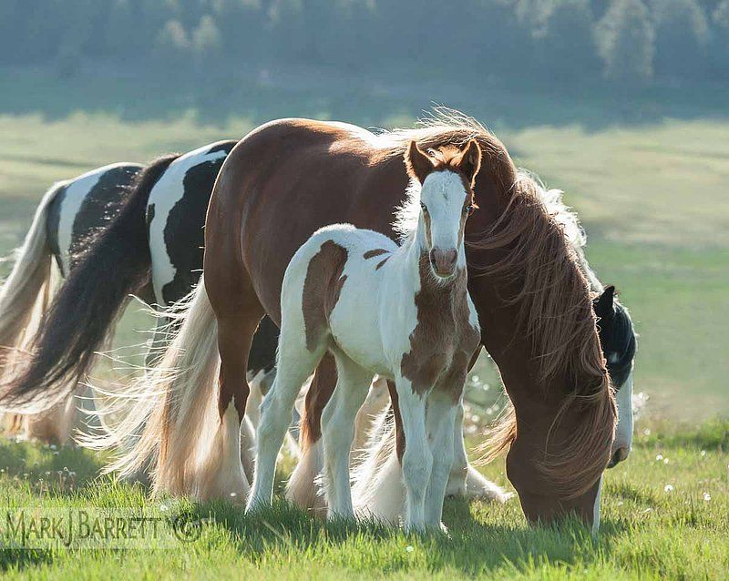 2357-481.jpg :: Blue eyed Gypsy Vanner Horse foal with mares .