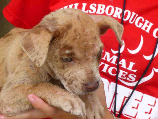 Tampa Fl Catahoula Baby Needs A Home Petharbor Com Animal Shelter Adopt A Pet Dogs Cats Puppies Kittens Humane Society Spca Lost Found