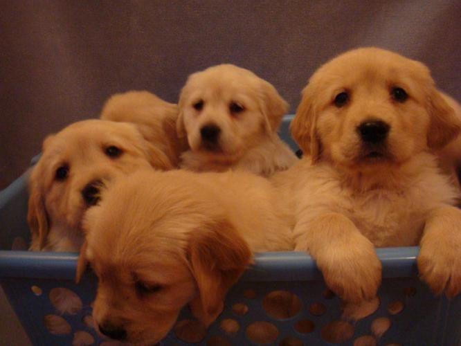 Cinnamin Chester Puppiesgolden Retriever Puppies Purebred Golden