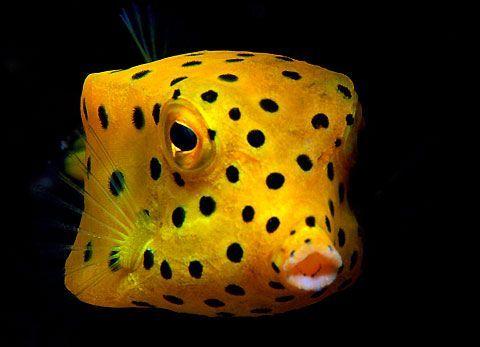 Yellow Boxfish Ocean Creatures Sea Fish Life Under The Sea