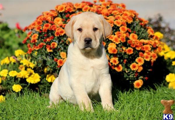 Thor Yellow Lab Male Labrador Retriever Shepherd Mix Puppies
