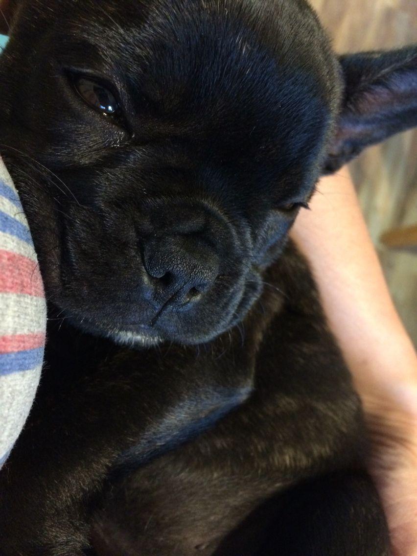Mi amor french bulldog brindle french bulldog