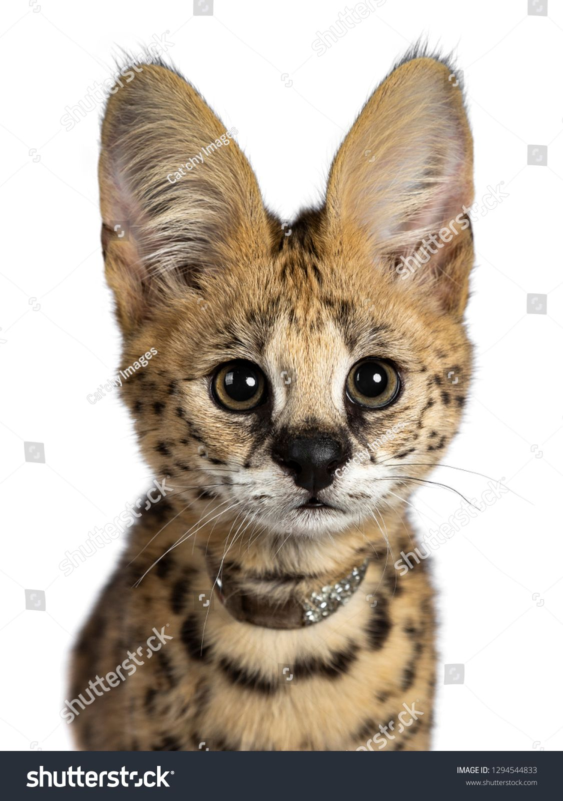 Head Shot Of Cute 4 Months Young Serval Cat Kitten Sitting Straight Up Wearing Shiny Collar Looking At Lens Wit Cats And Kittens Serval Cats Wildlife Animals