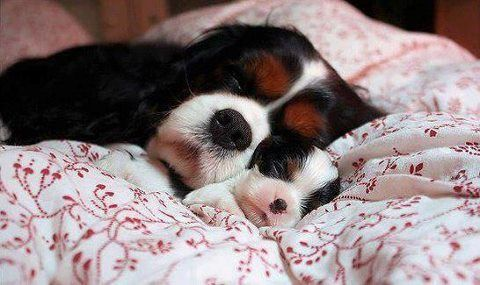 Cavalier mama and pup