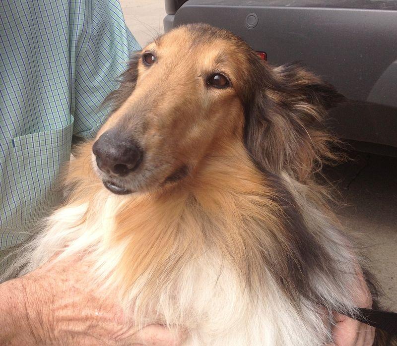 Adopt Angel On Petfinder Animal Rescue Collie Dog Collie