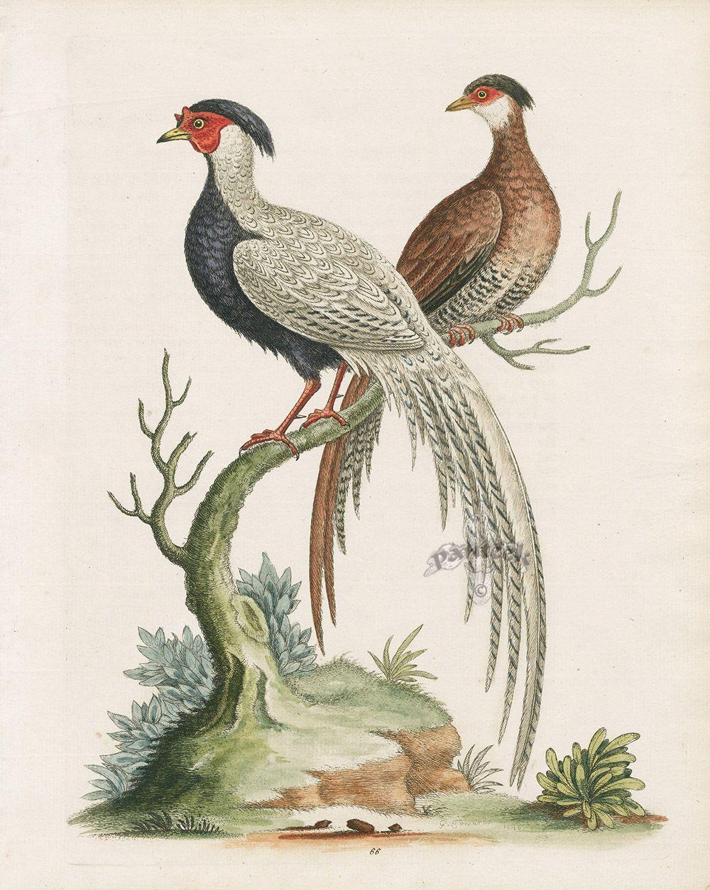 Black  White Pheasants, Male  Female From Birds Prints -6736
