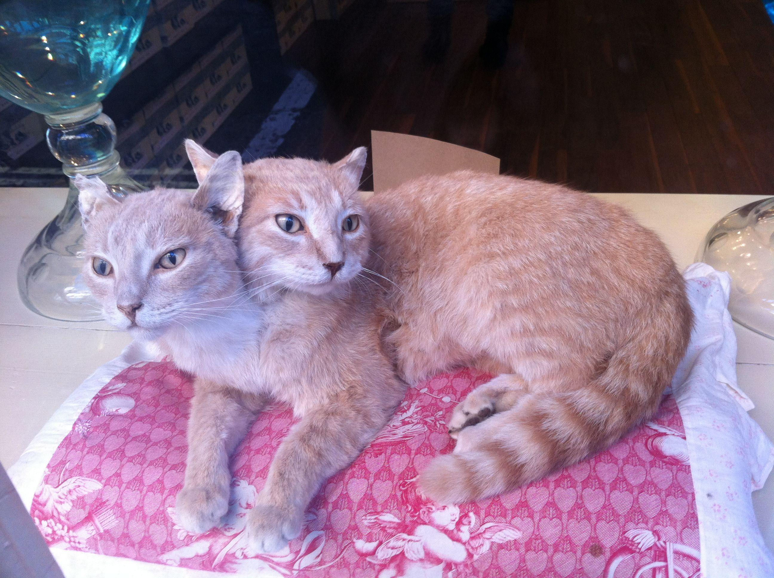 Прикольные картинки кошек сиамские близнецы, анимацией планетой земля