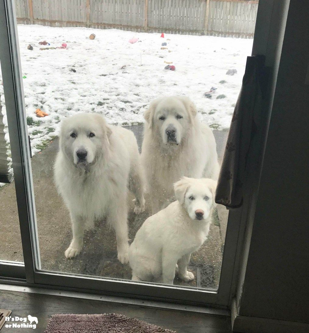 Kiska Great Pyrenees 5 Months Great Pyrenees Great Pyrenees