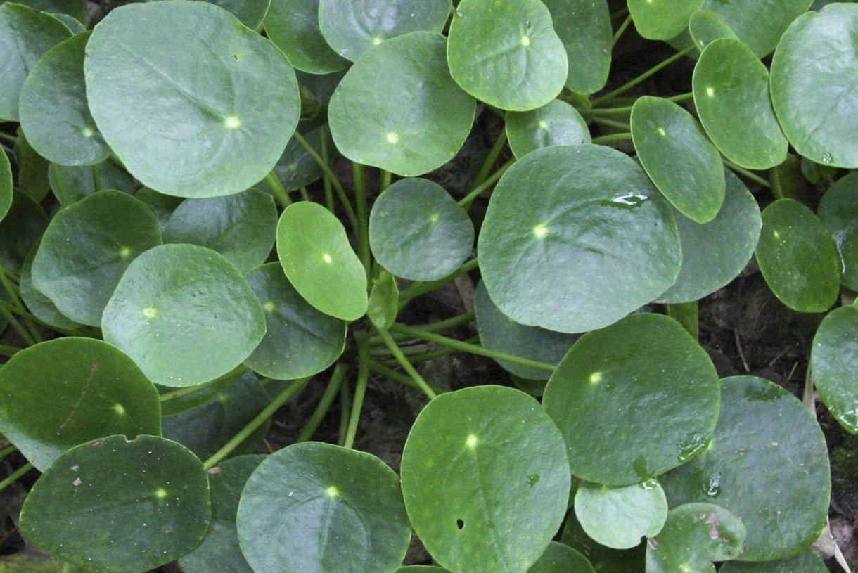 pilea peperomioides cultiver la plante monnaie chinoise plantes d 39 int rieur plante. Black Bedroom Furniture Sets. Home Design Ideas