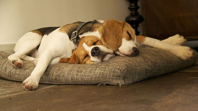 Sleeping Beagles Cute Animals Beagle Dogs