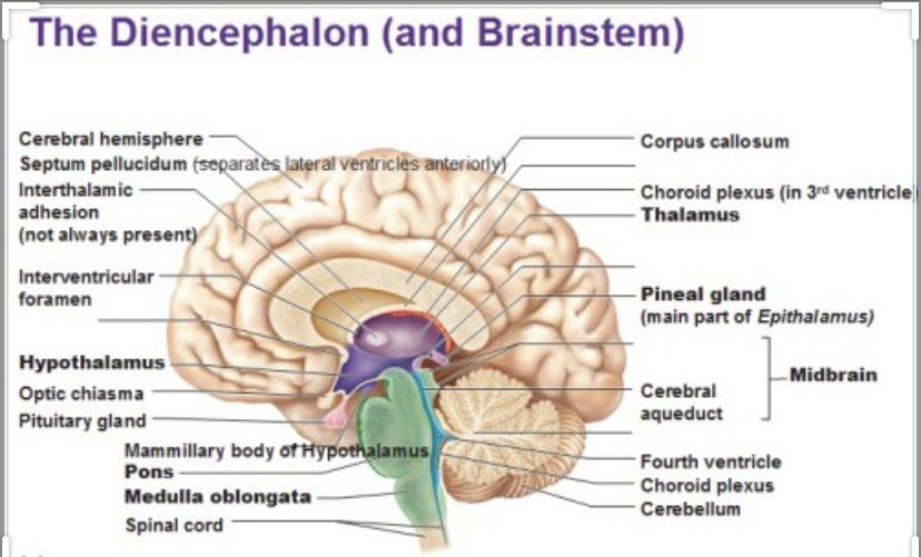 Pin By Rachael Wood On Love In 2020 Gland Craniosacral Therapy Pineal Gland
