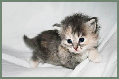 Hypoallergenic Siberian Cats And Kittens With Hypoallergenic Fur A Siberian Cat Breeder In Flori Siberian Cats For Sale Siberian Cat Breeders Why Do Cats Purr